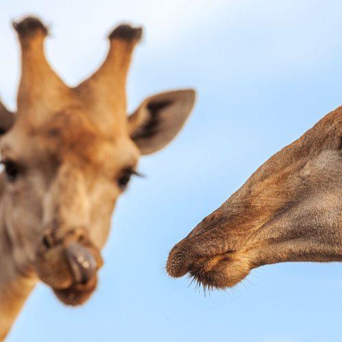 Portrait of 2 giraffe