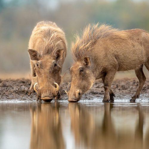 2 warthogs drinking