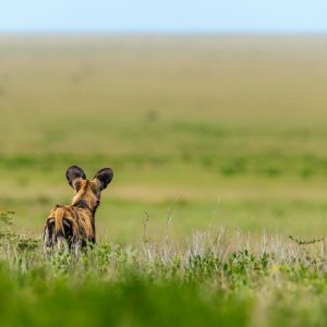 Wild dog looking out over the plains of the Serengeti