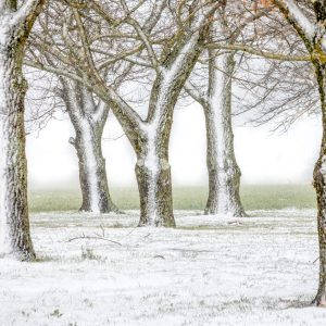 Forest of trees covered with snow
