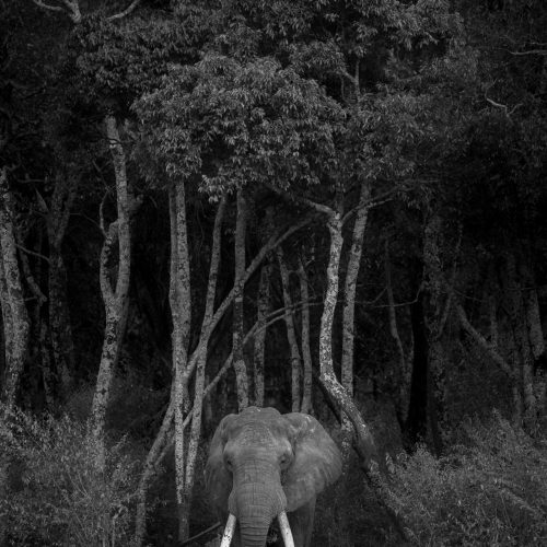 Elephant walks out of forest